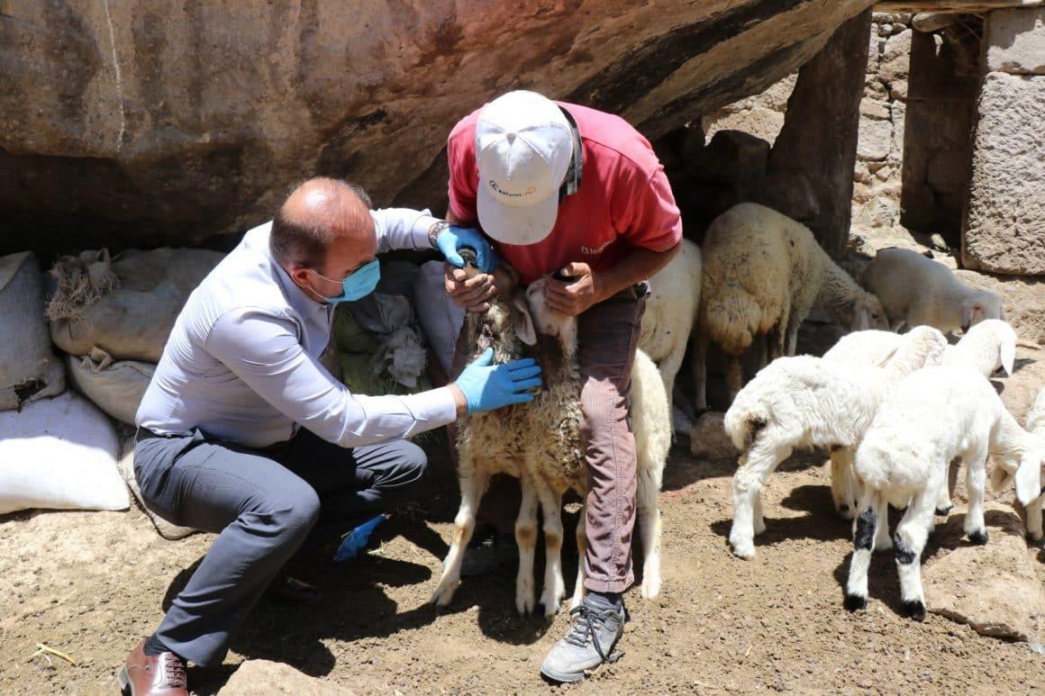 Ahıra giren kurt 10 koyunu öldürerek telef etti