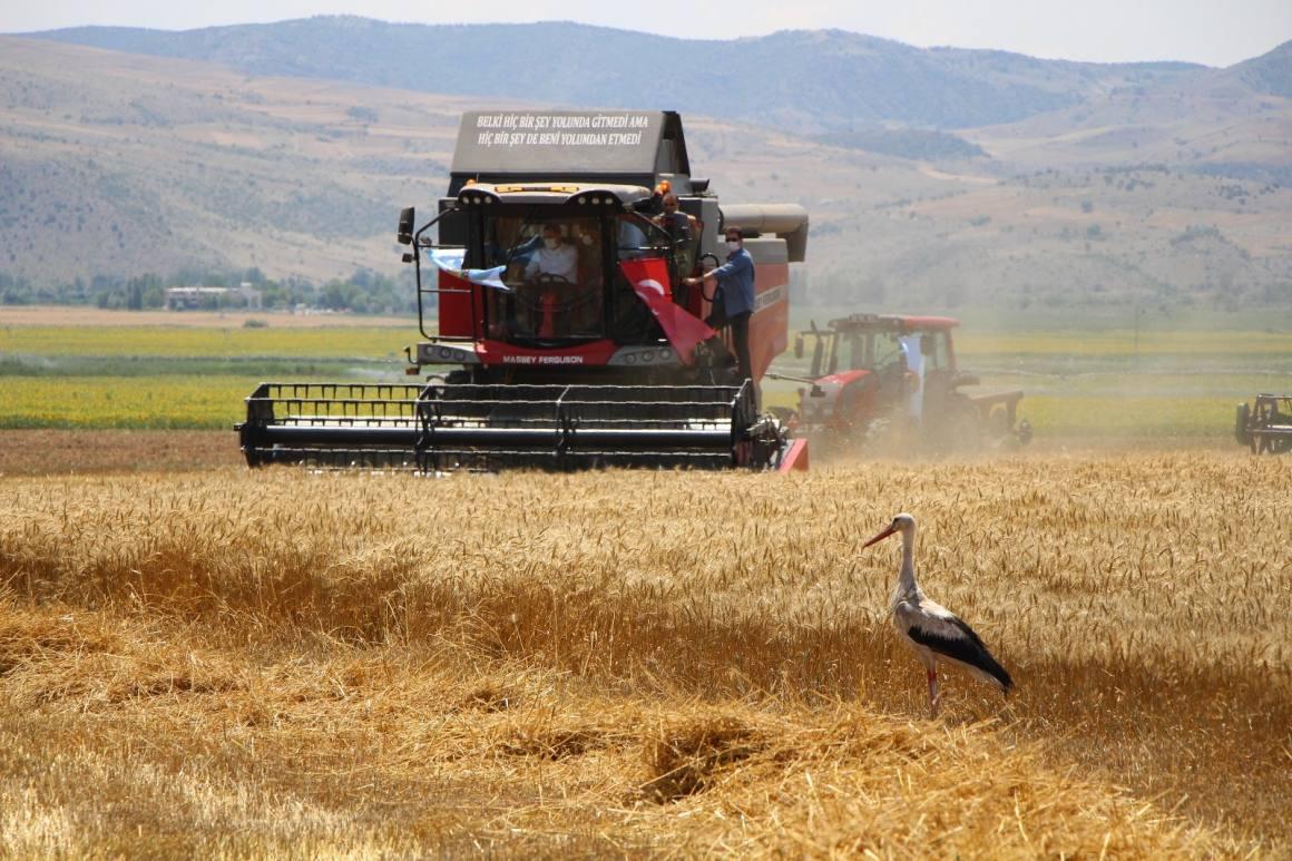 Amasya'da bereketli hasat: Leylekler buğday avında
