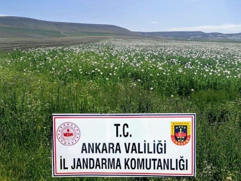 Ankara'da ekiminin izinsiz yapıldığı tespit edilen 148 bin 200 kök haşhaş bitkisi imha edildi