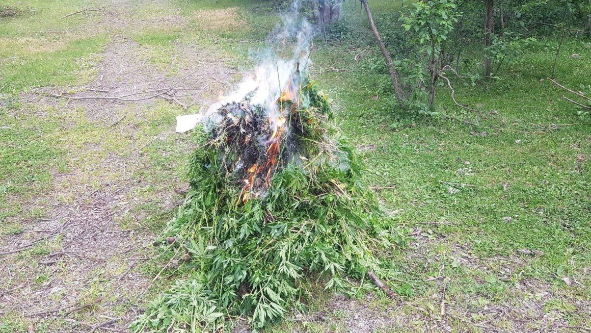 Ardahan'da kendiliğinden yetişen 19 bin 800 kök kenevir bitkisi imha edildi