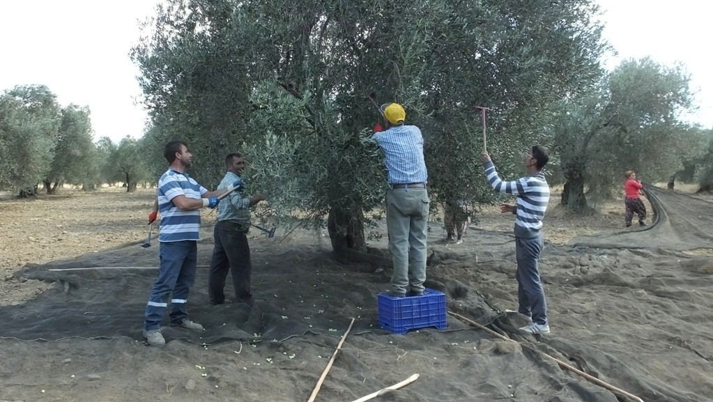 Burhaniye'de zeytinciler güve mücadelesi için uyarıldı