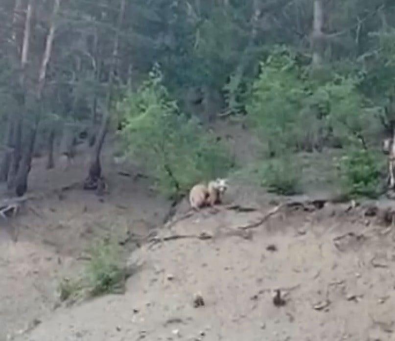 Erzurum'da boz ayı 2 yavrusuyla birlikte ilçeye indi
