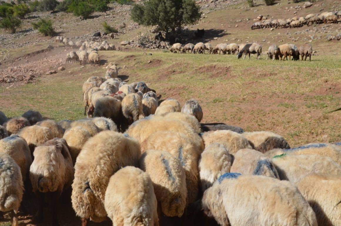 Siirt'ten batıdaki illere gönderilecek kurbanlıklar hazır